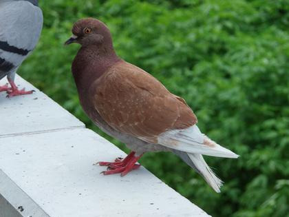 P7272320鳥ハトzp.jpg